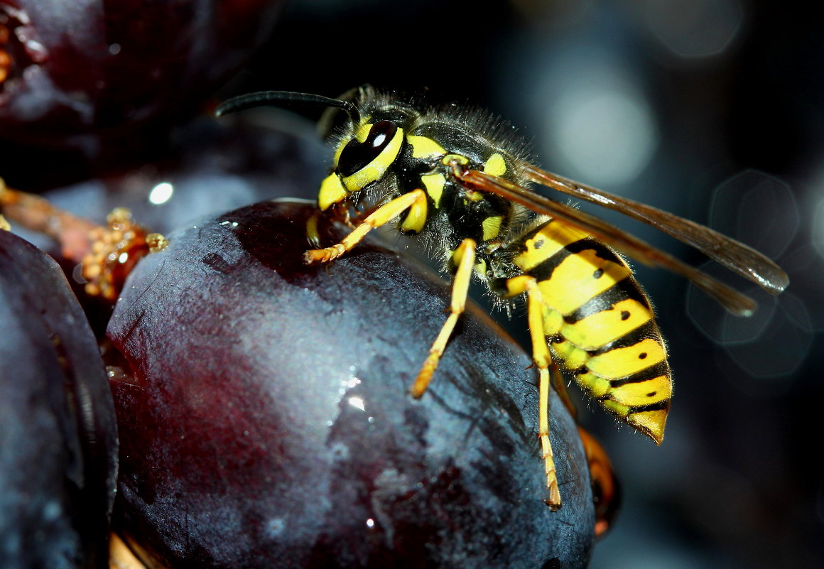 Борьба с осами на винограднике