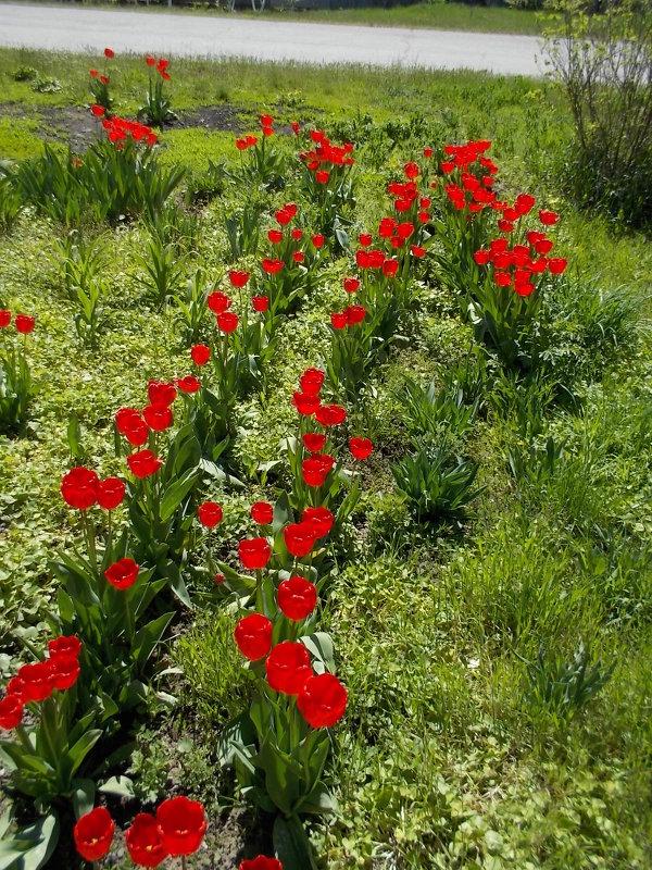 Красные тюльпаны - Максим