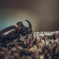 Добрый жук :: Евгений Шевелев