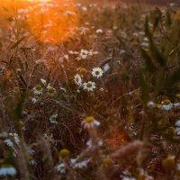 Цветы на закате :: Тимур
