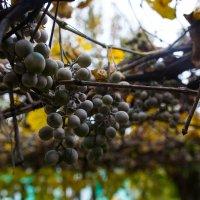 виноград :: Анастасия Садовская
