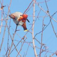 Свиристельная весна :: Лена Закирова