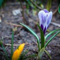 Весенний цветок :: Людмила Долингер