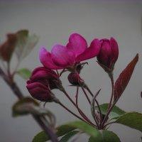 райская яблонька зацвела.. :: Марина Ринкашикитока