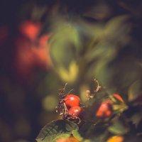 плоды шиповника :: Максим