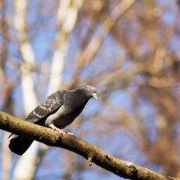 Весенний голубь! :: Aнна Зарубина