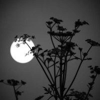Лунный укроп. :: Евгения Кирильченко