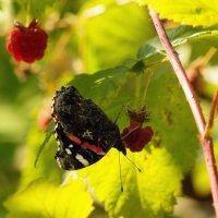 Бабочка и ягодки :: Aнна Зарубина