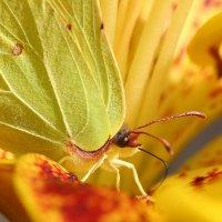 Желтое на желтом :: Александр Сивкин