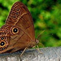 Бабочка Китая :: Мася Мосина