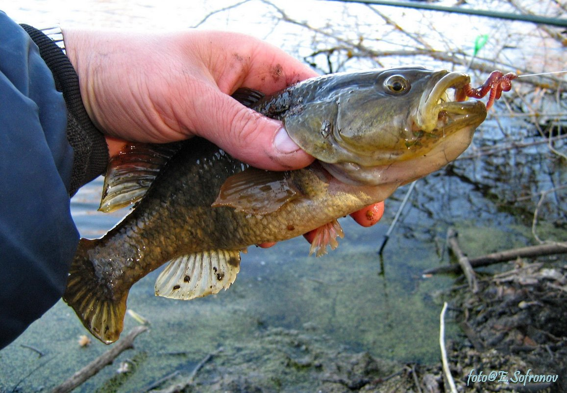 рыболов ротан