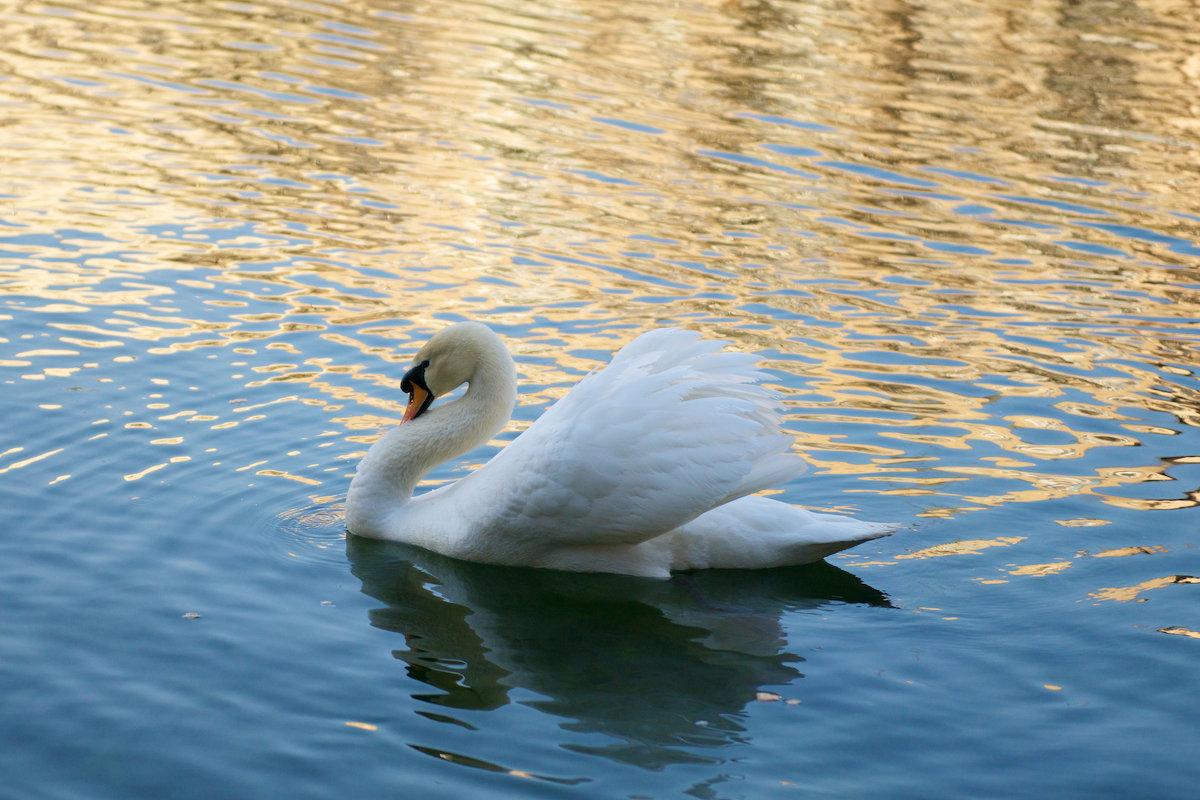 Лебедь на пруду - Роман Раевский