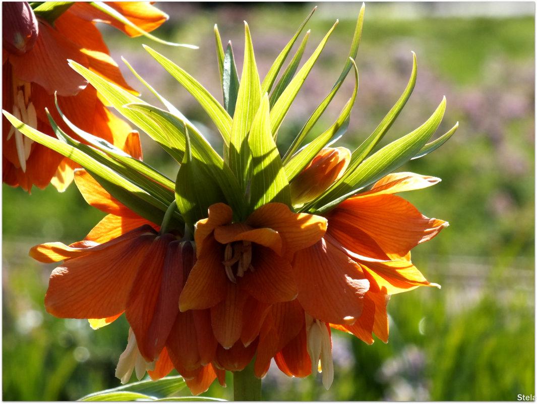 Рябчик эдуарда цветок