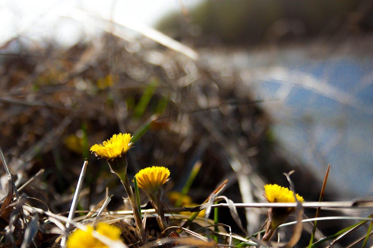 Как желтые веснушки на носу, как  солнечные блики на воде, встречает мать-и-мачеха весну - Мила Солнечная
