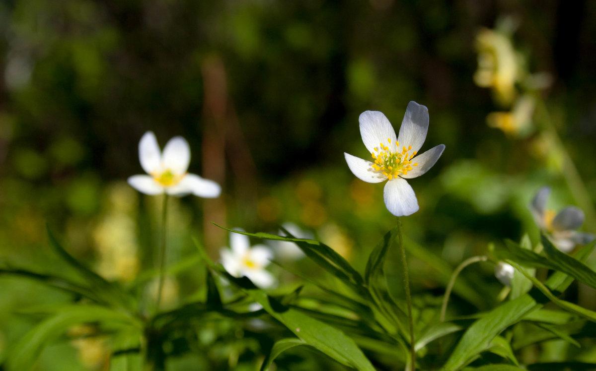 как ангелы те белые цветочки... - Мила Солнечная