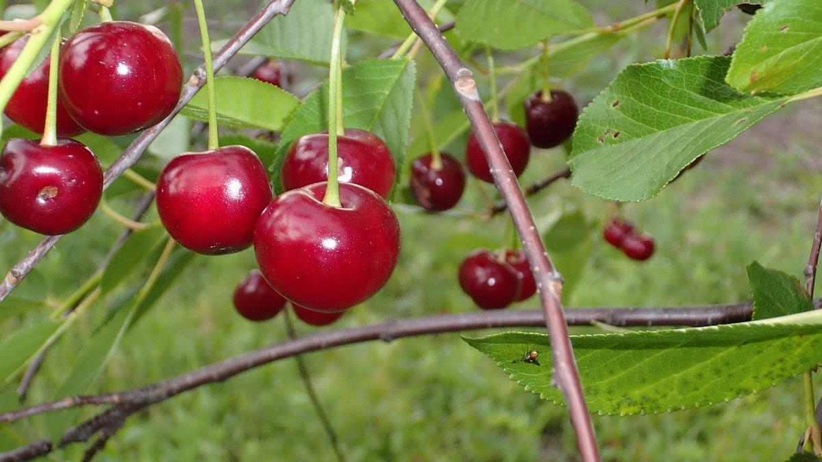 садок вишневий коло хати