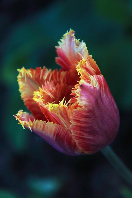 Тюльпан в юбочке с бахрамой - Ясения Вальковская