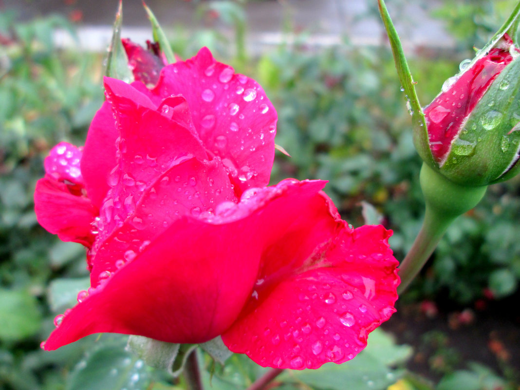 Летний дождь и розы... - Тамара (st.tamara)