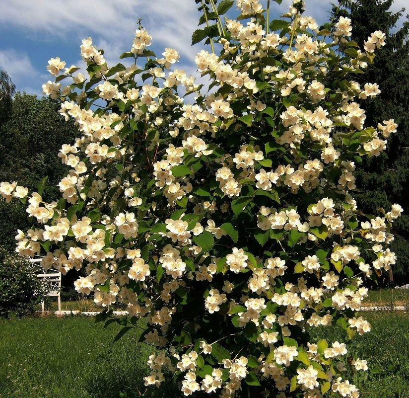 Выращивание в саду чубушника 26