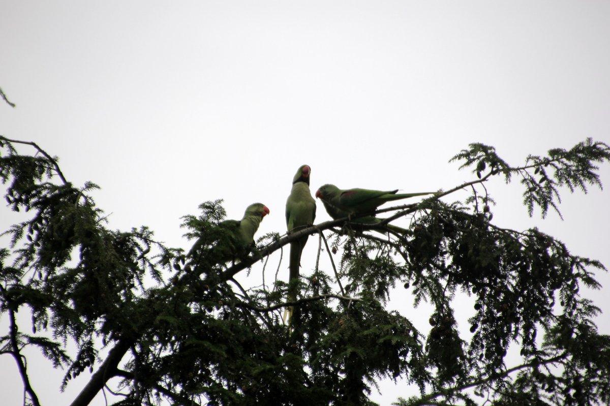 попугаи - Olga