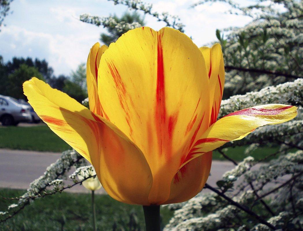 Тюльпан жёлтый,распустившийся - Сергей Мягченков