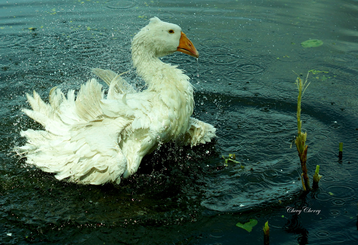купание белого гуся) - Алёна ChevyCherry