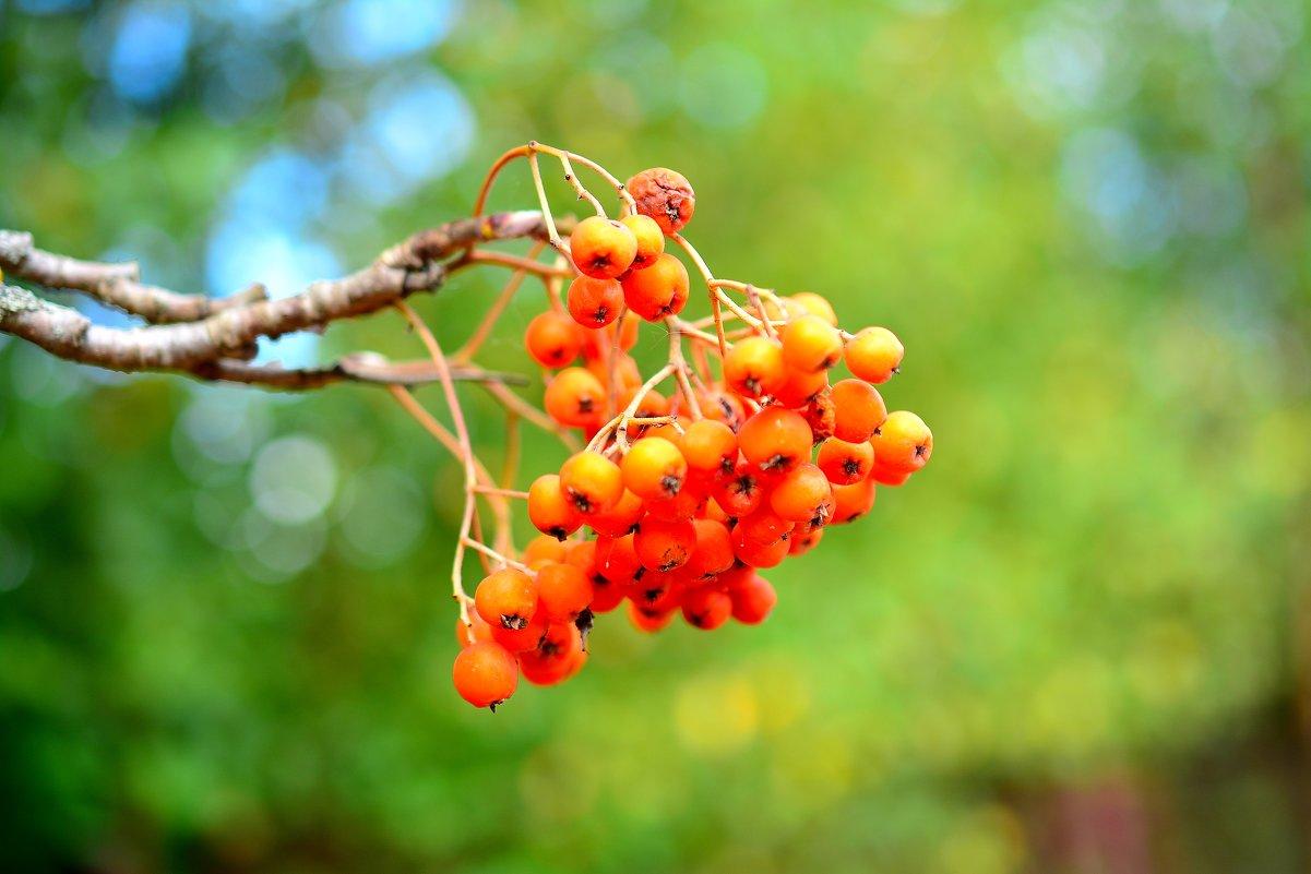 """""""и только гроздья рябины..."""" - Андрей Вестмит"""