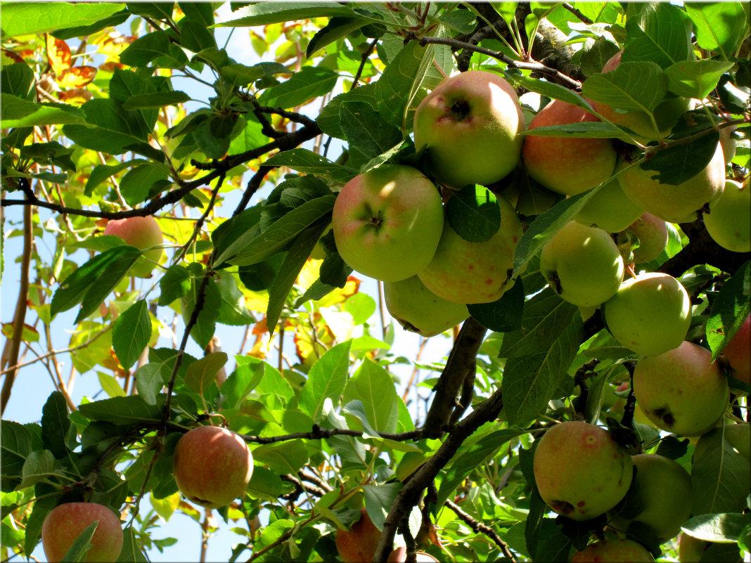 Урожай на яблоки... - Тамара (st.tamara)