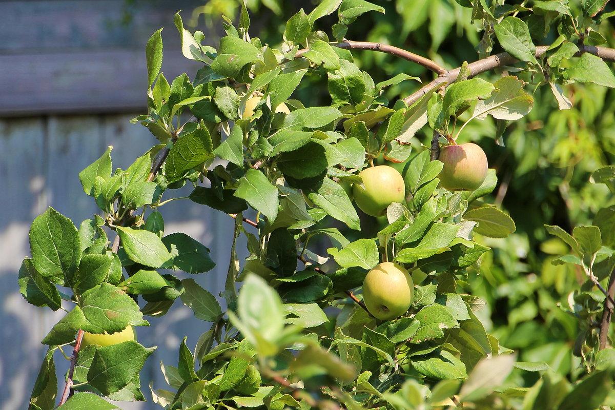 Яблочки молодильные..... - Tatiana Markova