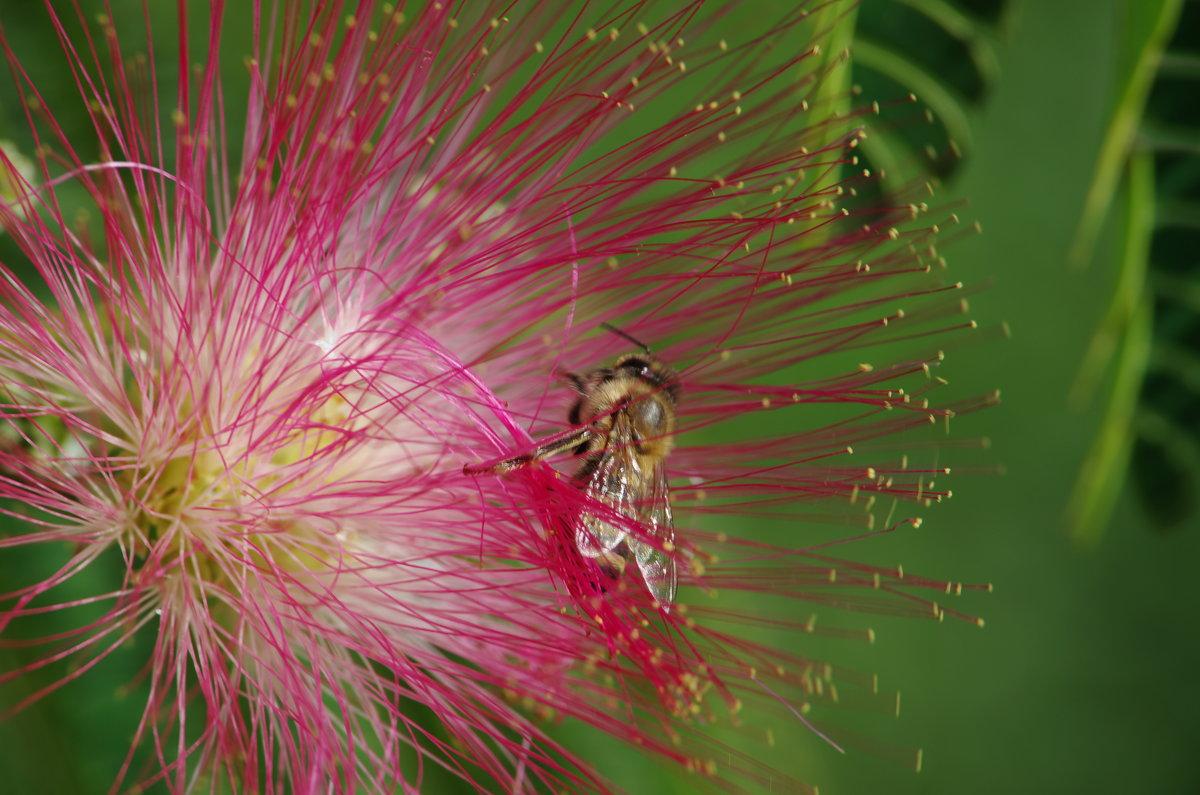 Пчелка - Константин Вергун