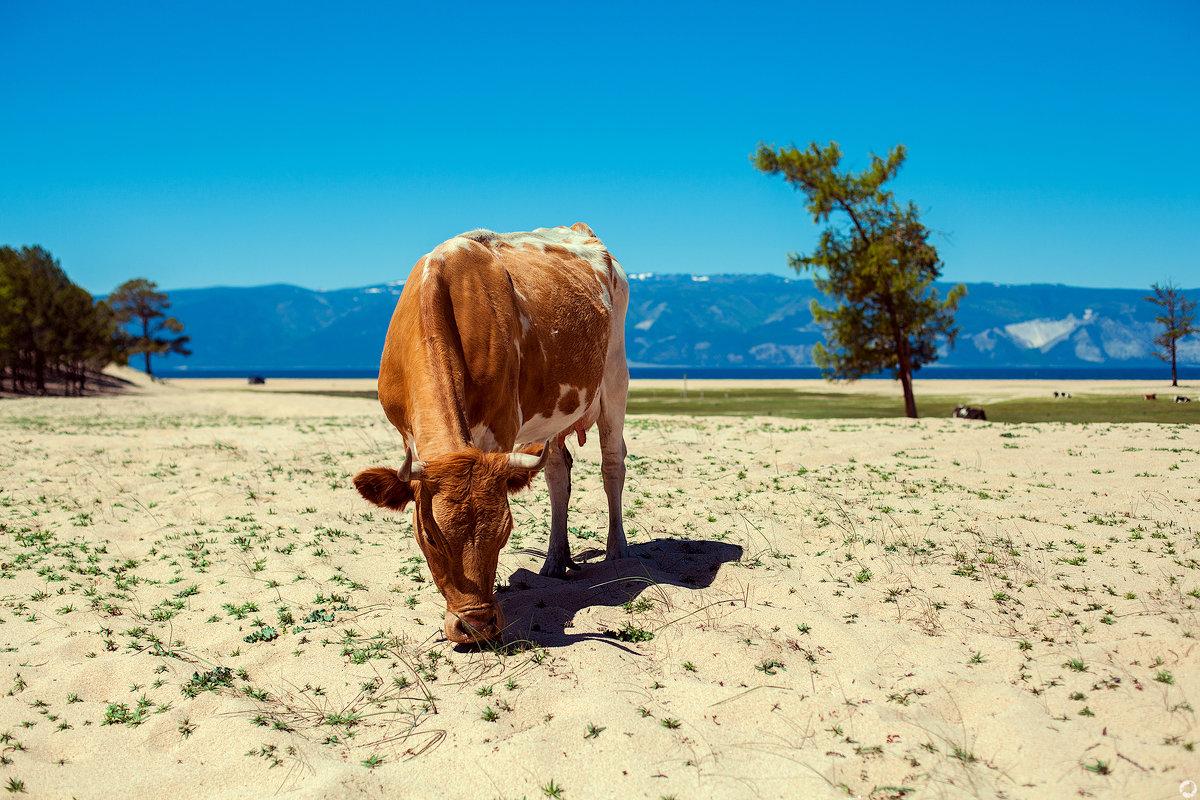 Корова на Ольхоне - Павел Крутенко