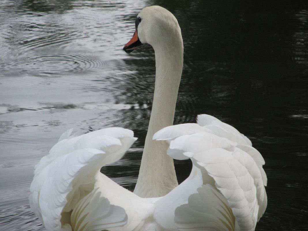 А белый лебедь на пруду... - Екатерина Мовчан