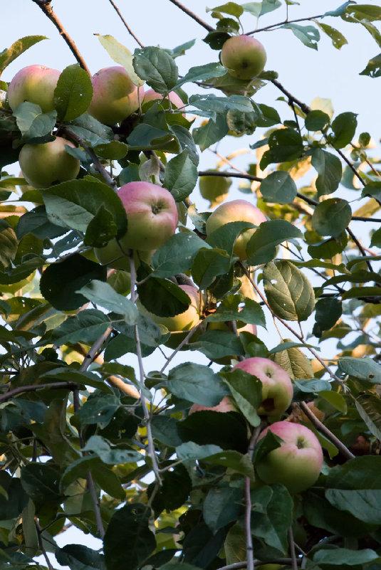 Яблоки на ветке - Николай Ефремов