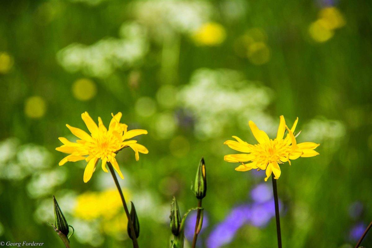Цветы - Georg Förderer