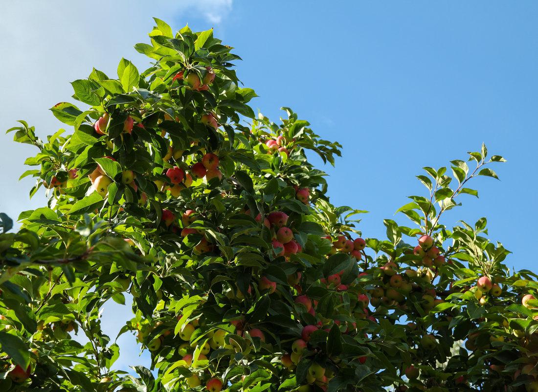 яблочки - Саша Ш.