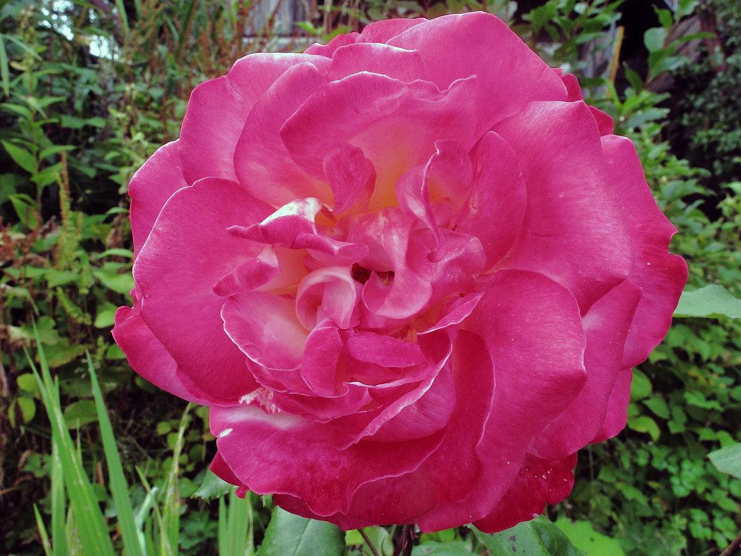 Первый цветок розового куста - Дмитрий Михайлович Сарасек