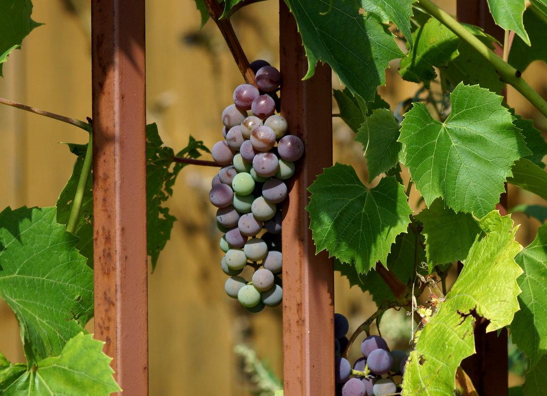 Выращивание винограда из года в год 80