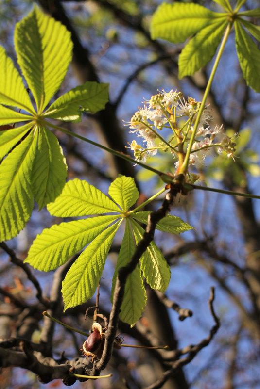 Второе осеннее цветение каштана - Эдуард Цветков