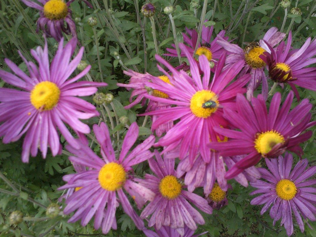 Цветы осени - хризантемы - BoxerMak Mak