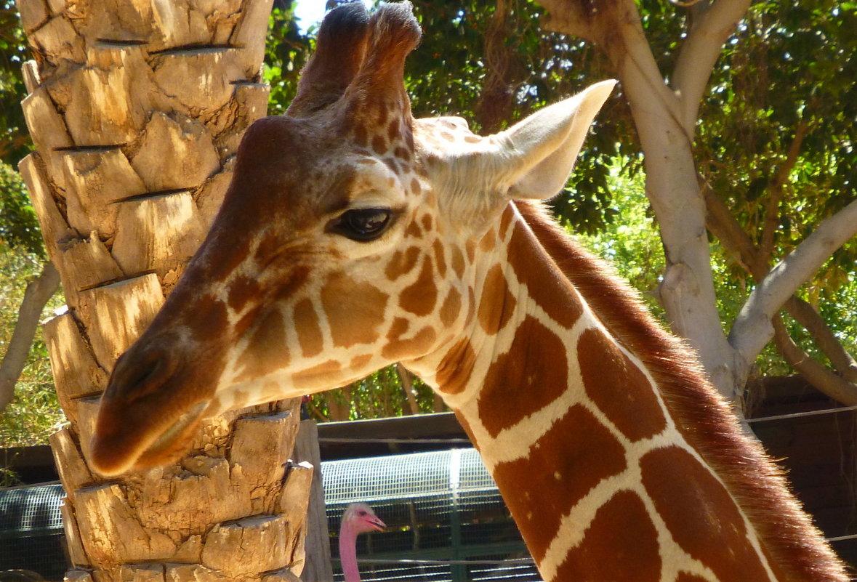 Портрет жирафа - Марк