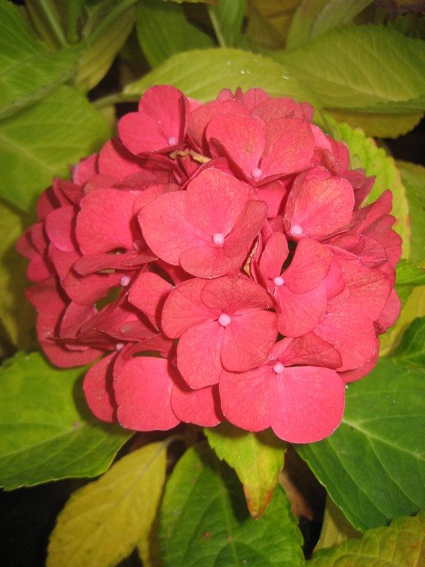 Осенняя гортензия - laana laadas