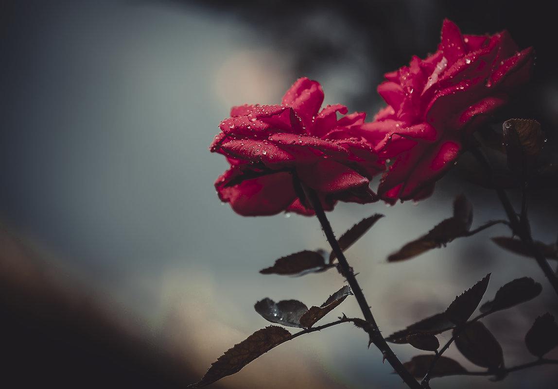 Из серии - мои розы!!! - Александр Вивчарик