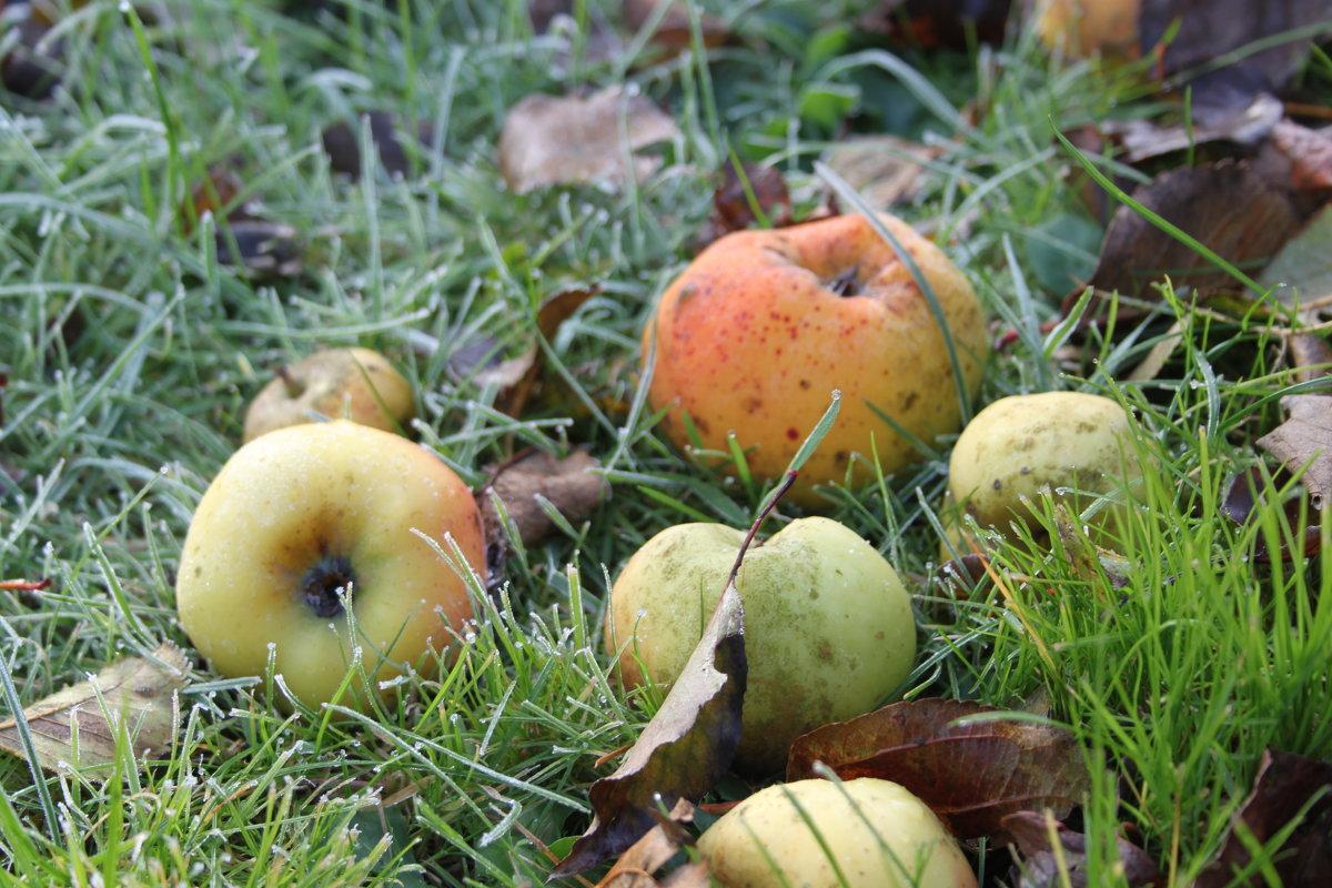 последние яблоки - Olga