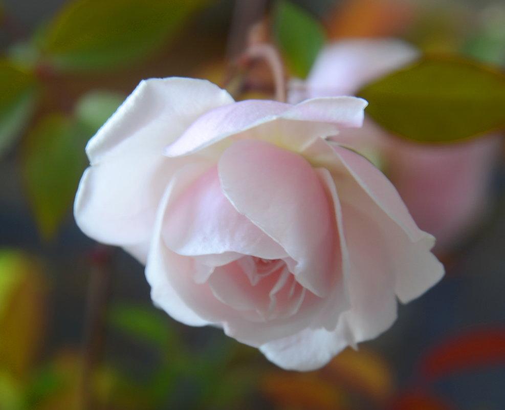 розы - Алексей Короткевич