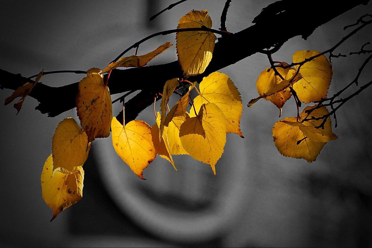 Листья осенние. Липа - Виктор Четошников