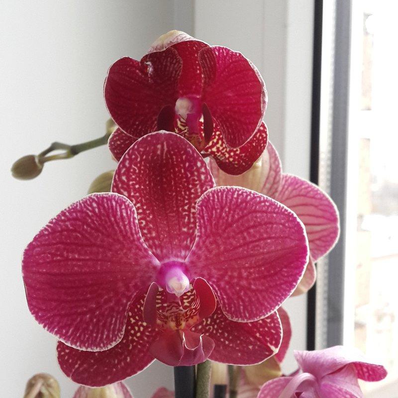 Каталина цветок фото