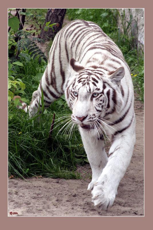 белый тигр в вот видео