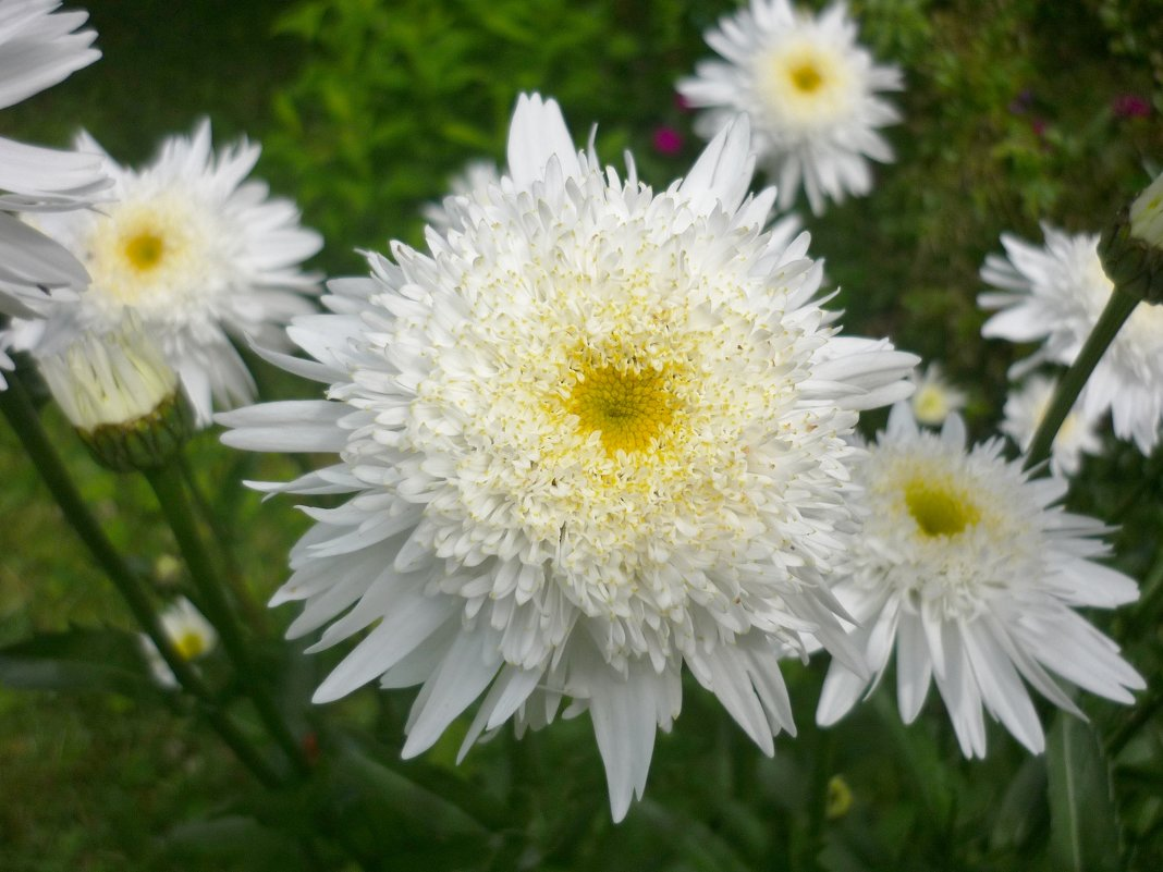 Французская ромашка цветок