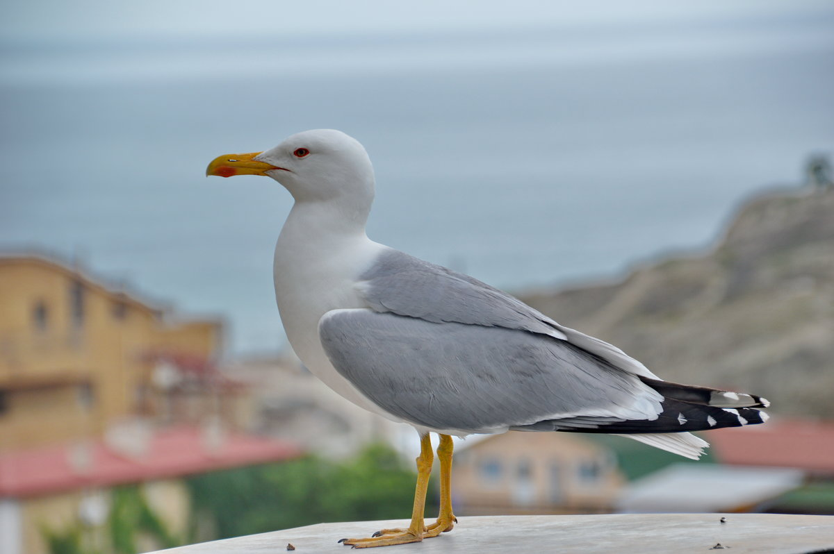 Морская чайка - Demian