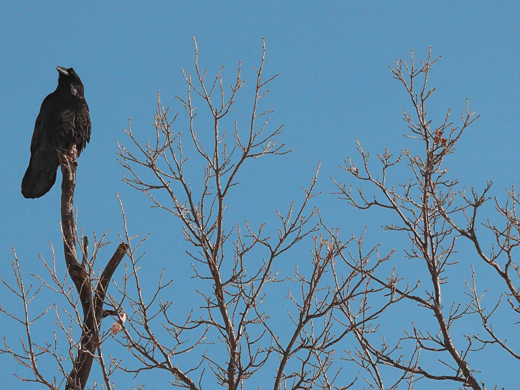 Скачать песню петлюра чёрный ворон